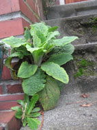 foxglove growing on my front steps